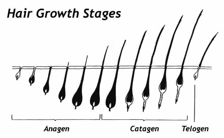 Lav Hair Growth Stages
